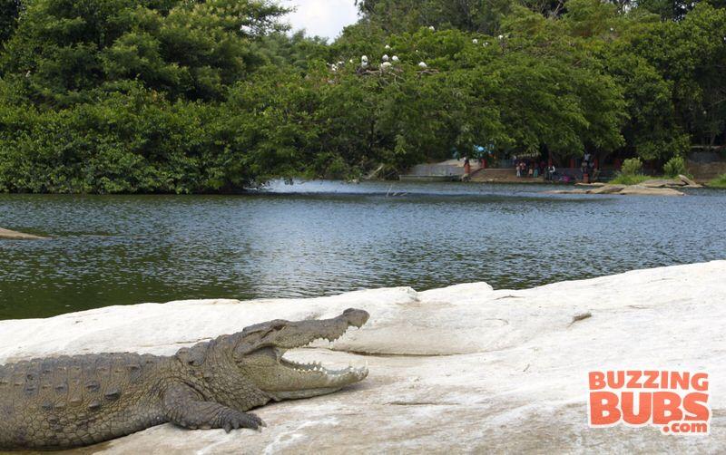 Ranganthitu-Crocodile